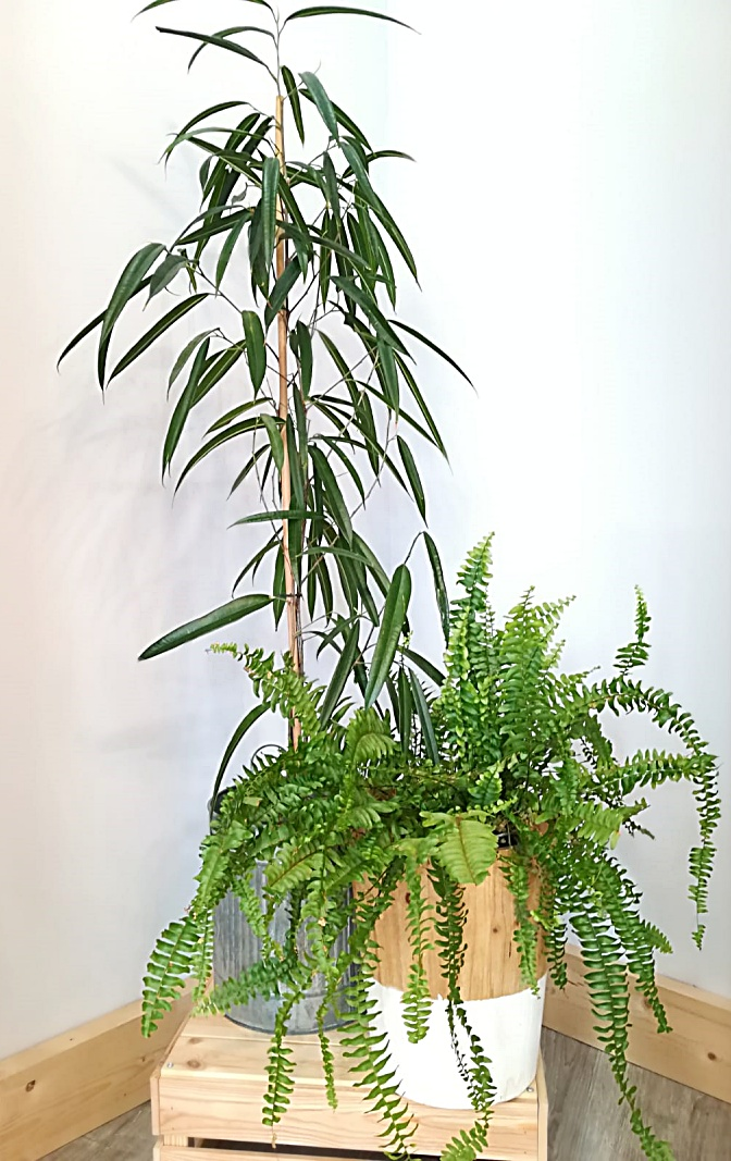 Plantas Ardentia Vigo